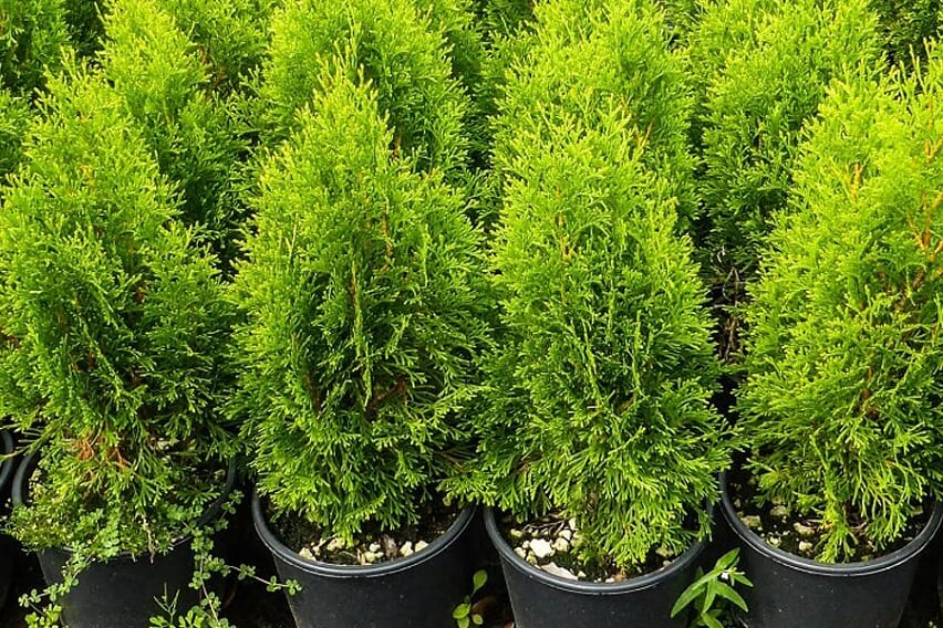 THUJA OCCIDENTALIS: A HEDGE IN YOUR BALCONY