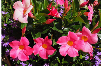 OVERCOME OBSTACLES WITH A DIPLADENIA