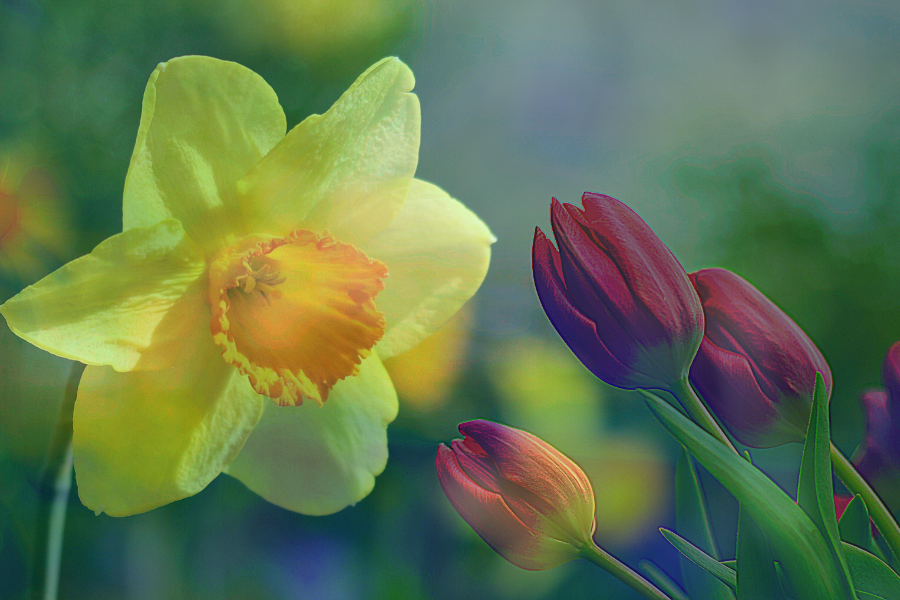 NARCISSUS & TULIP: A WINNING COUPLE!